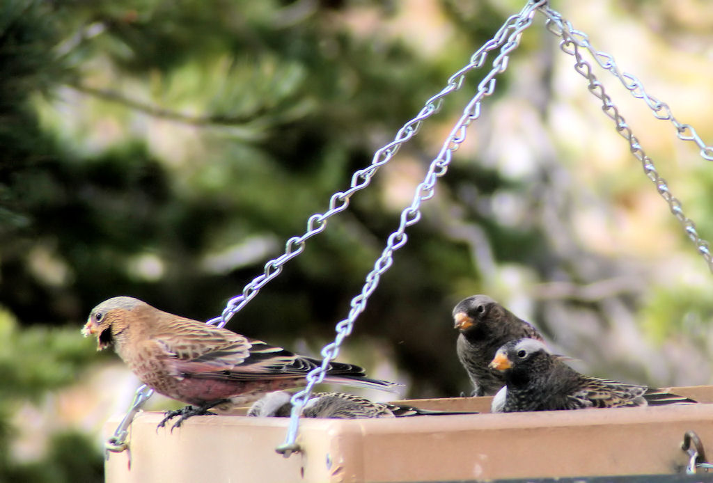 Brown-capped-Rosy-finch-with-2-Black-Rosy-finches-Sandia-Crest-NM-2011-11-18