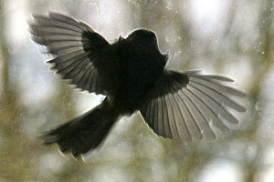 Young_Long_Tailed_Tit_fails_to_fly_through_a_closed_window_(239566296)