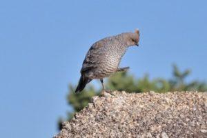 quailtrip